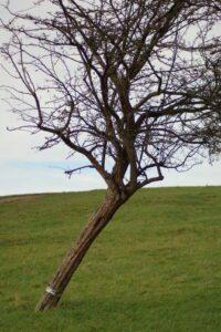 Durham Tree Service Leaning Tree