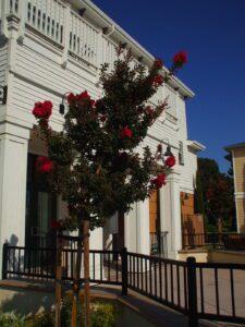 Durham Tree Service pruning crepe myrtle