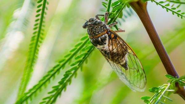 Are Cicadas Harmful To Trees?