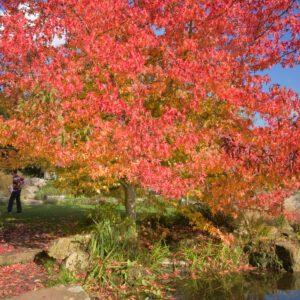 Durham Tree Service sweet black gum tree
